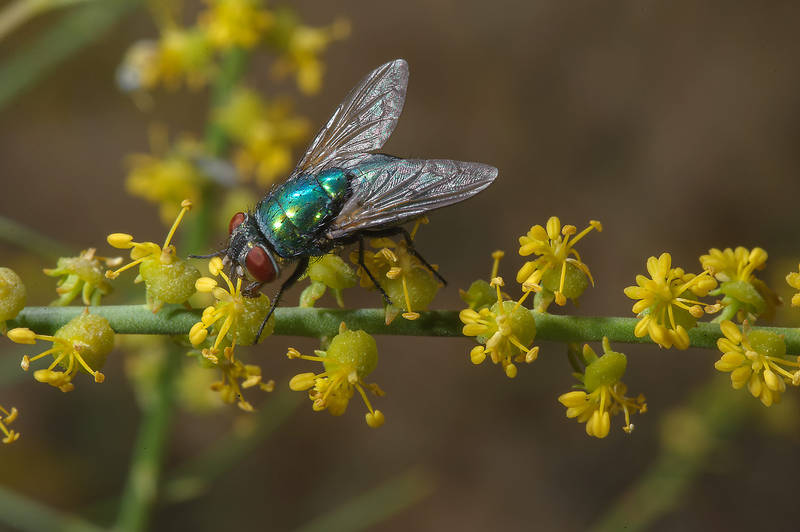 Green fly sitting on yellow flowers of Ochradenus baccatus (Pearl Plant, Taily Weed, local name Gurdhi or qurDi) in a runnel north from Dukhan in western Qatar, March 3, 2014