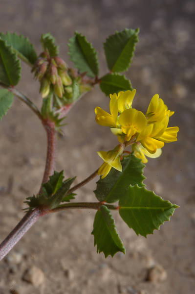 Yellow flowers of Egyptian Fenugreek (Trigonella glabra, Trigonella hamosa, local name nafal barri) near Zekreet in western Qatar, March 3, 2014