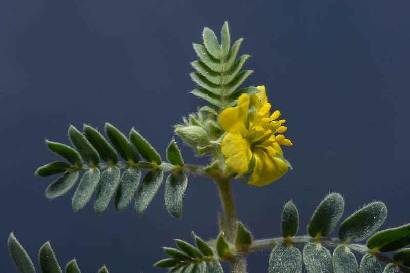 Tribulus pentandrus with a flower taken from Abu Nahlah Road, south from Doha. Qatar, March 5, 2014