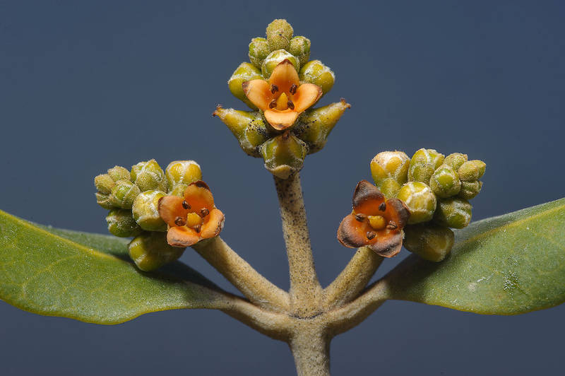 Flowers of mangrove (Avicennia marina) near Purple Island (Jazirat Bin Ghanim). Al Khor, Qatar, March 7, 2014