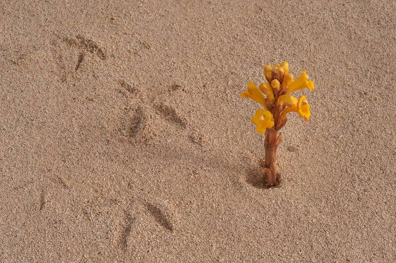 Bird tracks and a flower of Cistanche tubulosa on sand of Umm Tays Island in Madinat Al Shamal area. Qatar, March 14, 2014