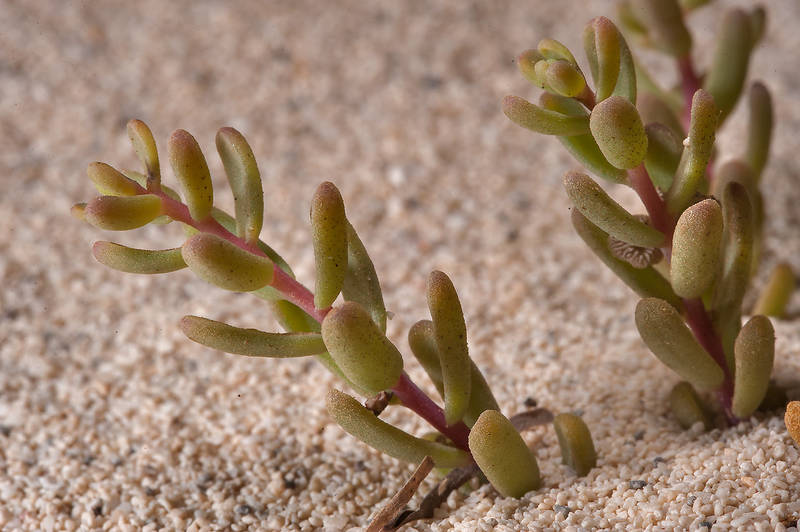 Close up of Seablite (Suaeda vermiculata) on sand of Umm Tays Island in Madinat Al Shamal area. Qatar, March 14, 2014