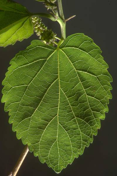 Leaf of white mulberry (Morus alba) taken from Al Sham Street in West Bay. Doha, Qatar, March 15, 2014