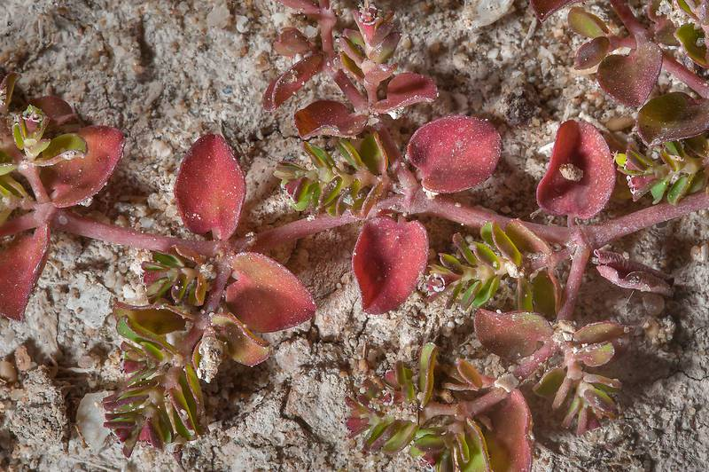 Red leaves of spurge (Euphorbia prostrata or may be serpens) near Omar Al Mukhtar Street in West Bay. Doha, Qatar, March 22, 2014