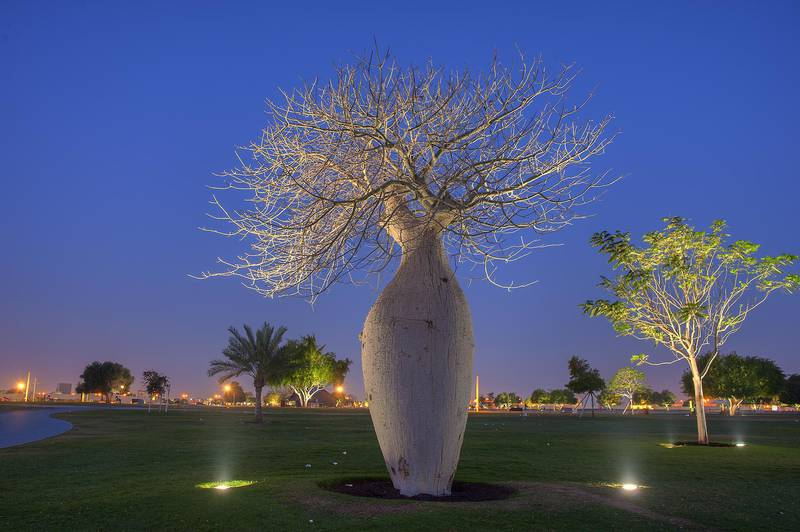 Illuminated Silk floss tree (Chorisia speciosa, Ceiba speciosa) in Aspire Park. Doha, Qatar, March 29, 2014