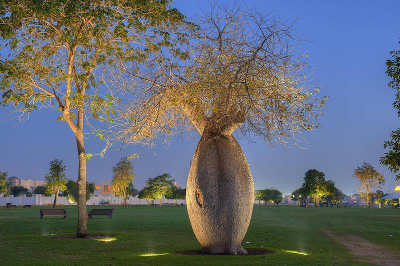 Silk floss tree (Chorisia speciosa, Ceiba speciosa) in Aspire Park. Doha, Qatar, March 29, 2014