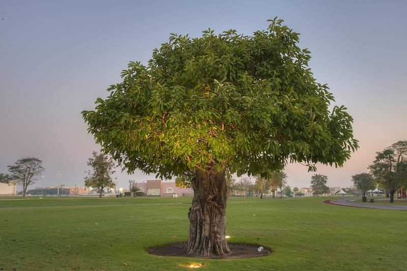 Indian Banyan (Ficus benghalensis) in Aspire Park. Doha, Qatar, March 29, 2014