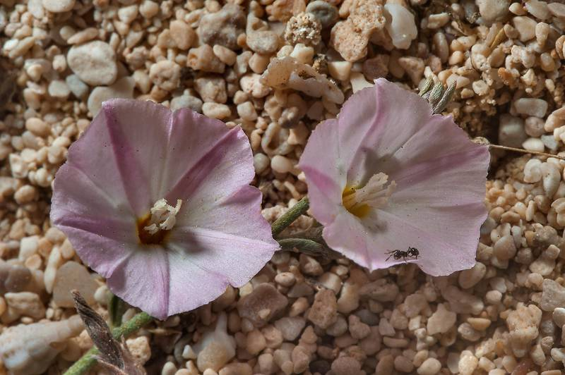 Flowers of bindweed (morning glory, Convolvulus pilosellifolius) in sand near Fuwairit. Northern Qatar, April 3, 2014