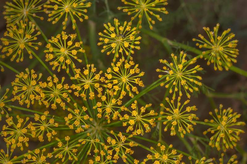 Dill (Anethum graveolens, local names ein jarada, shabat) on roadside of Al Shamal Road. Northern Qatar, April 3, 2014