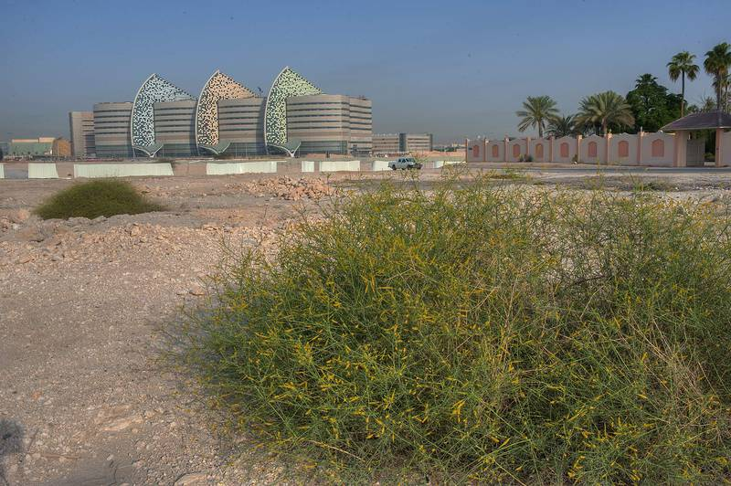 Bushes of Ochradenus baccatus (Pearl Plant, Taily Weed, local name Gurdhi or qurDi) near Al Luqta Street, opposite to Education City. Doha, Qatar, April 11, 2014