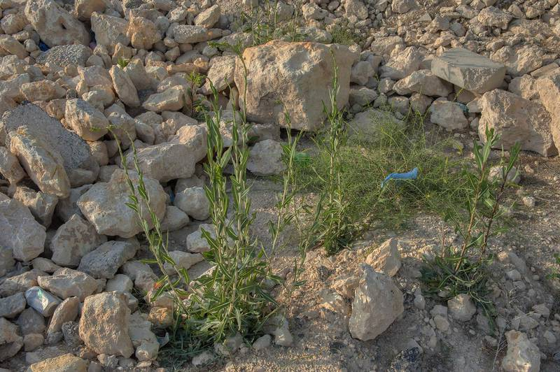 Weeds of prickly lettuce (Lactuca serriola) near Al Luqta Street, opposite to Education City. Doha, Qatar, April 11, 2014