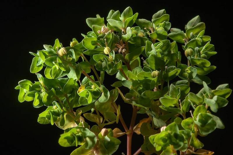 Petty spurge (Euphorbia peplus) taken from a roadside of Al Sham Street in area of West Bay. Doha, Qatar, April 16, 2014