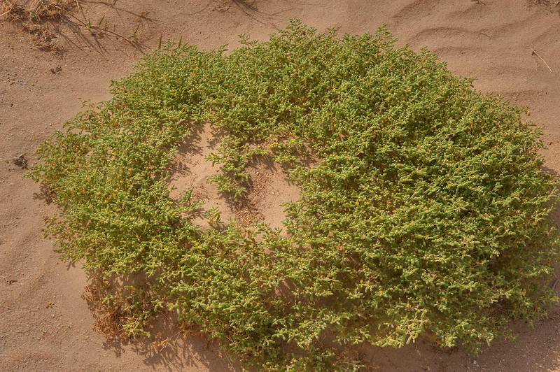 Zygophyllum simplex (Tetraena simplex, harm, hureim) forming a sand mound on roadside of Salwa Road, south-west from Doha. Qatar, April 23, 2014