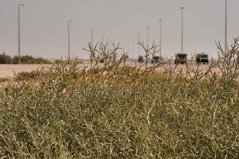 Large bush of Zilla spinosa (Bunias spinosa, local name shabram) on roadside of Salwa Road near Karaana, south-west from Doha. Qatar, April 23, 2014