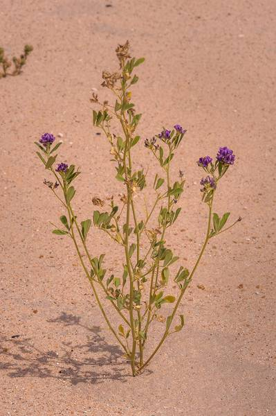 Alfalfa (lucerne, Medicago sativa, local names jet, barseem) in sand on roadside of Salwa Road near Karaana, south-west from Doha. Qatar, April 23, 2014