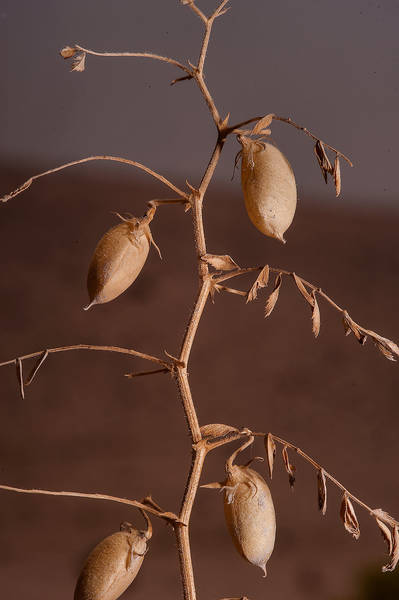 Oval seed pods of chickpea (Cicer arietinum) on roadside of Salwa Road near Karaana, south-west from Doha. Qatar, April 23, 2014