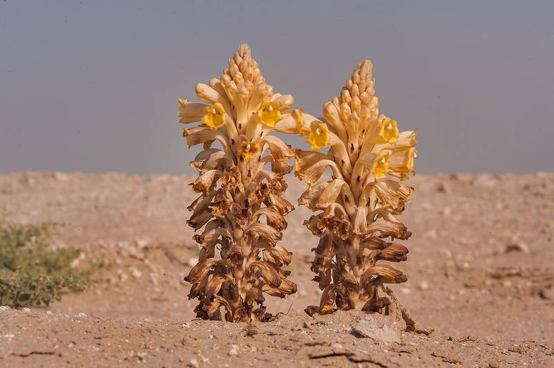 Parasitic plant Desert Hyacinth (Cistanche tubulosa, dhanoon, Tartuth) on a roadside near Abu Nahlah. Qatar, April 25, 2014