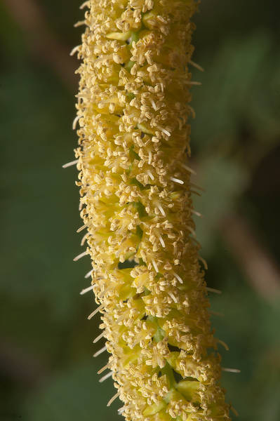 Flowers of mesquite (Prosopis juliflora, Prosopis chilensis, ironwood, local names meskeet, ghweif, al ghaf) near a road to Zubara in area of Al Magdah farms in northern Qatar, May 2, 2014