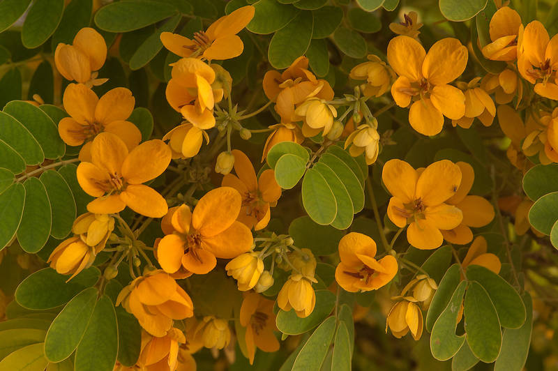 Blooming Golden Senna (Glaucous Cassia, Senna surattensis) on Corniche. Doha, Qatar, May 3, 2014