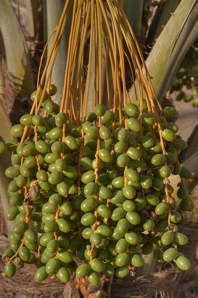 Date palm (Phoenix dactylifera, local name nakheel) with fruits on Al Muhandiseen Street near West Bay. Doha, Qatar, May 6, 2014