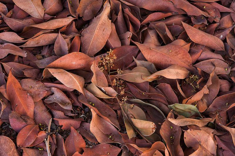 Dry rusty brown leaves and inflorescence of mango tree (Mangifera indica) on the ground near Al Muhandiseen Street in West Bay. Doha, Qatar, May 7, 2014