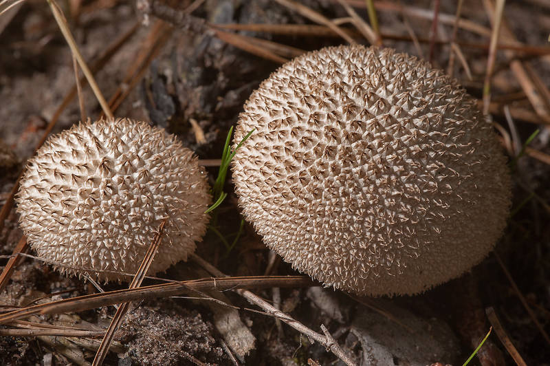 Spiny puffball mushrooms (Lycoperdon) in Sam Houston National Forest, on Little Lake Creek Loop Trail. Richards, Texas, May 18, 2014