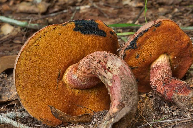 "Bolete mushroom <B>Butyriboletus floridanus</B> with orange pores in Lick Creek Park. College Station, Texas, <A HREF=""../date-en/2014-07-26.htm"">July 26, 2014</A>"