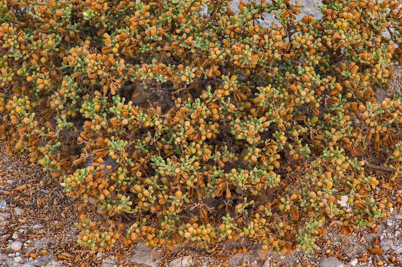 Tetraena qatarense (Zygophyllum qatarense) with seeds on salty wasteland in West Bay. Doha, Qatar, August 23, 2014