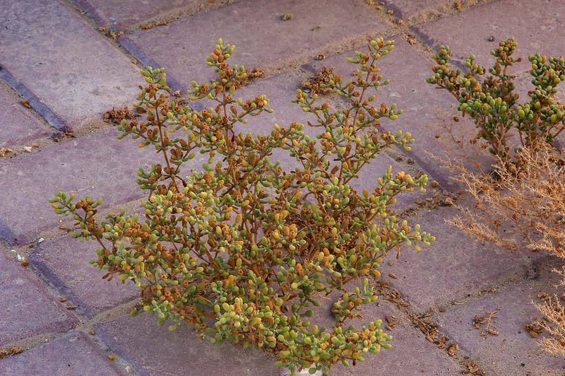 Tetraena qatarense (Zygophyllum qatarense) with seeds growing on a sidewalk of Meshrif Street near West Bay. Doha, Qatar, August 23, 2014