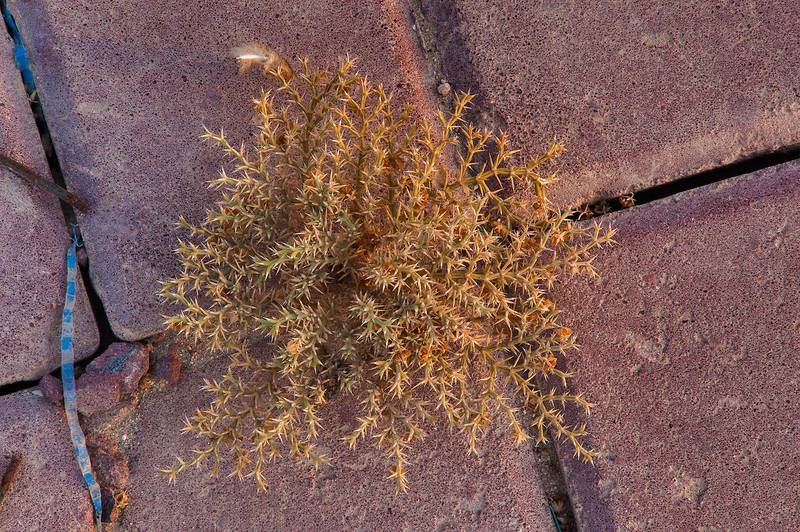 Fagonia bruguieri(?) growing on a sidewalk of Meshrif Street near West Bay. Doha, Qatar, August 23, 2014