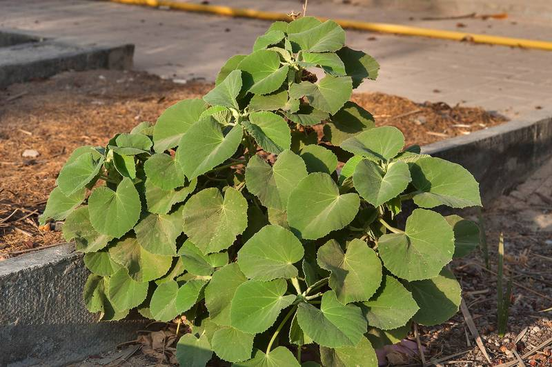 Velvetleaf (Abutilon pannosum var. figarianum) behind gas station on Al Sham Street in West Bay. Doha, Qatar, August 30, 2014