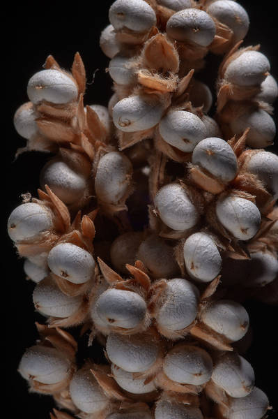 Large grains in globose spikelets of Sorghum bicolor found in area of Al Sham Street in West Bay. Doha, Qatar, August 30, 2014