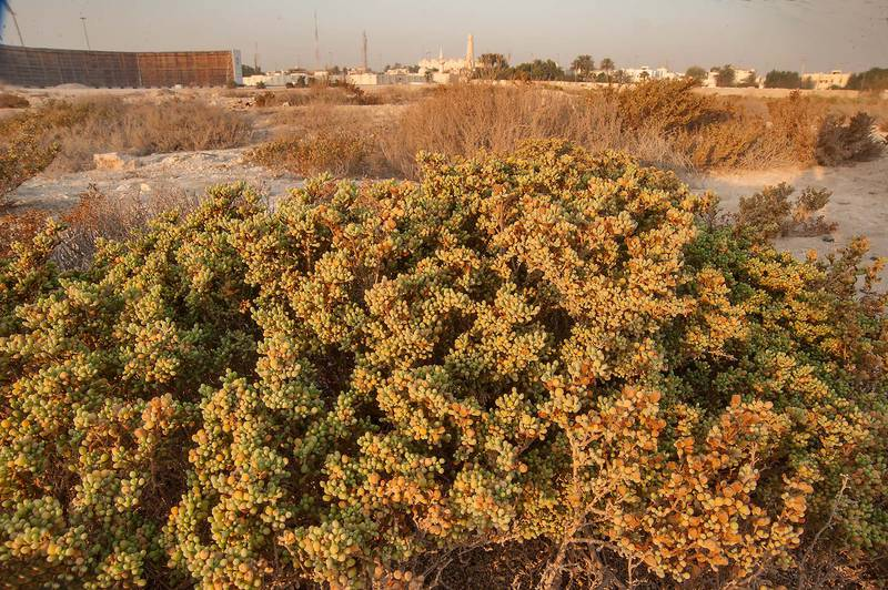 Large bush of Tetraena qatarense (Zygophyllum qatarense) on salty wasteland in West Bay. Doha, Qatar, September 5, 2014