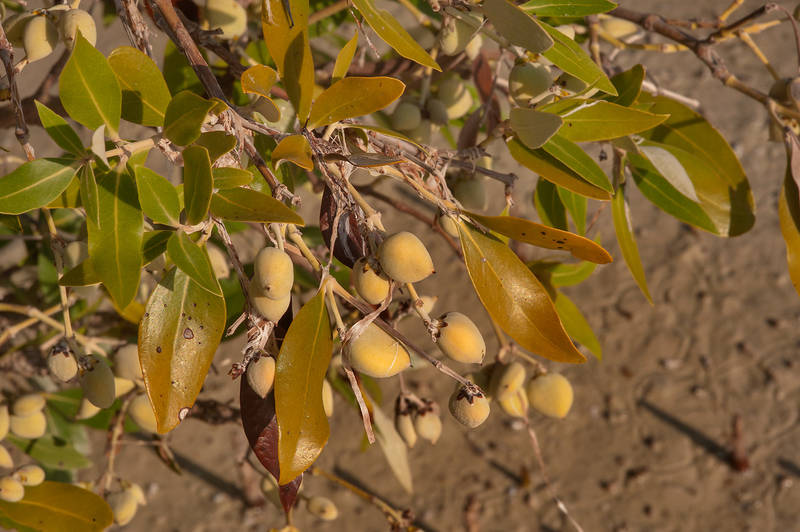 Mangrove (Avicennia marina) with fruits near village of Al Jumail (Jumayl) west of Ruwais on northwest coast. Qatar, September 20, 2014