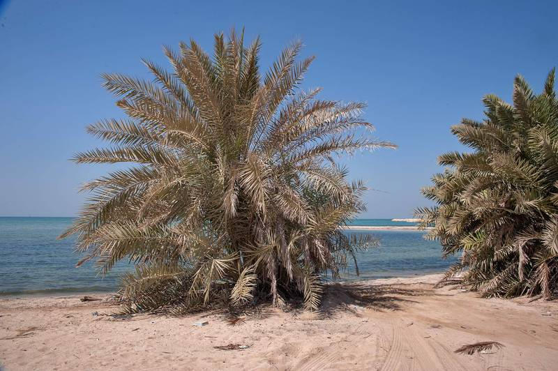 Date palms (Phoenix dactylifera, local name nakheel) with large stiff pinnate leaves on a beach in the area of Al Hamala (Al Hamlah) Water Well near Umm Bab in south-western Qatar, September 26, 2014