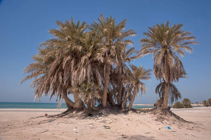 Group of date palms (Phoenix dactylifera, local name nakheel) on a beach in the area of Al Hamala (Al Hamlah) Water Well near Umm Bab in south-western Qatar, September 26, 2014