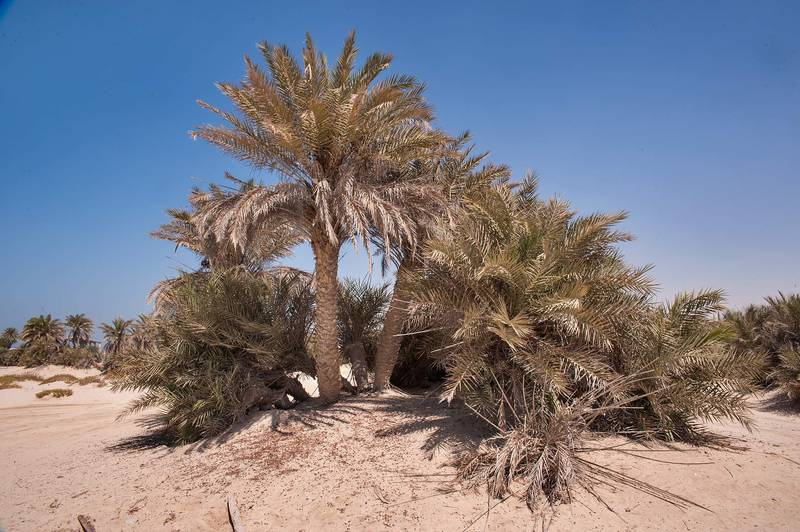 Grove of date palms (Phoenix dactylifera, local name nakheel) on a beach in the area of Al Hamala (Al Hamlah) Water Well near Umm Bab in south-western Qatar, September 26, 2014