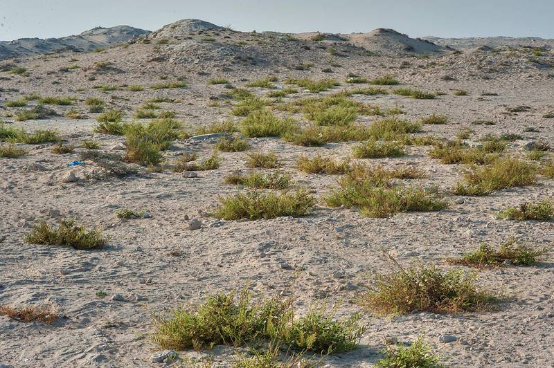 Depression among hills overgrown by plants of Cleome noeana near Fuwairit. Northern Qatar, October 3, 2014