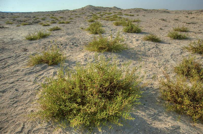 Plants of Cleome noeana with seeds growing on rocky terrain near Fuwairit. Northern Qatar, October 3, 2014
