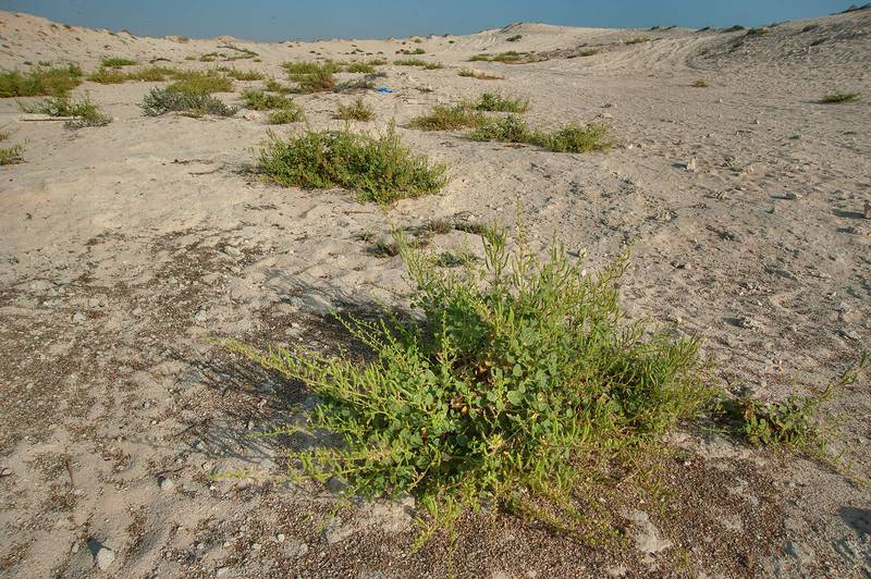 Plants of Cleome noeana growing on a shallow valley near Fuwairit. Northern Qatar, October 3, 2014