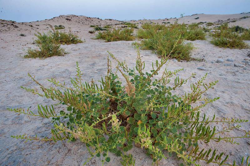 Plant of Cleome noeana with seeds growing between hills near Fuwairit. Northern Qatar, October 6, 2014