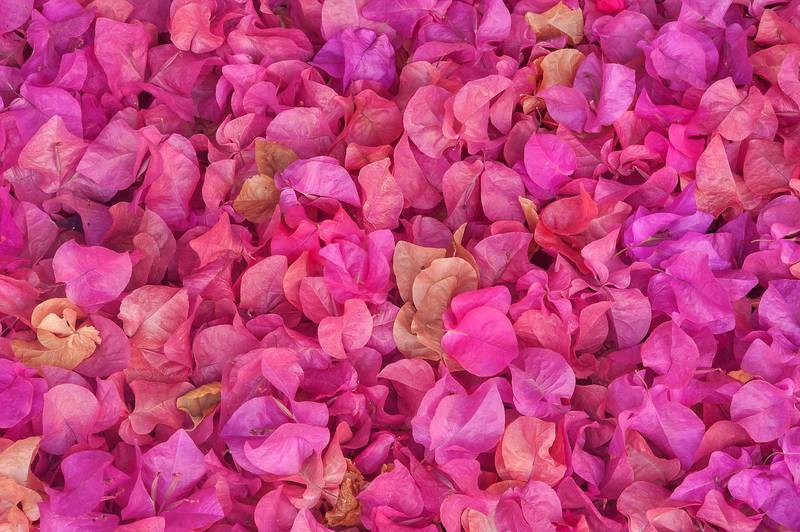 Petals of paperflower (Bougainvillea glabra) on the ground on Al Istiqlal Street in West Bay. Doha, Qatar, October 20, 2014