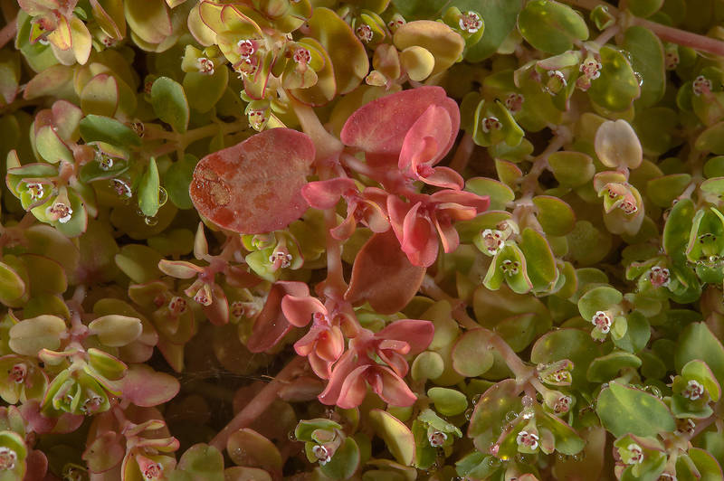 Pinkish leaves of spurge Euphorbia prostrata on Green Circles (center-pivot irrigation) in Irkhaya (Irkaya) Farms. South-western Qatar, October 25, 2014
