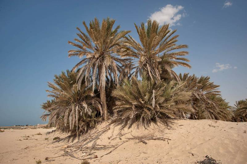 Grove of date palms (Phoenix dactylifera, local name nakheel) on a low sand mound on a beach in the area of Al Hamala (Al Hamlah) Water Well near Umm Bab. South-western Qatar, November 7, 2014