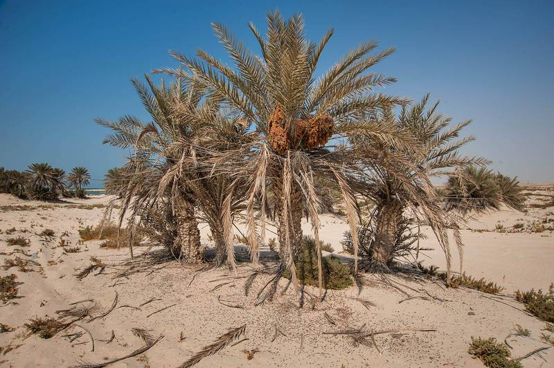 Date palms (Phoenix dactylifera, local name nakheel) with seeds on a beach in the area of Al Hamala (Al Hamlah) Water Well near Umm Bab. South-western Qatar, November 7, 2014