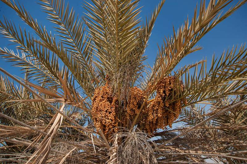 Seeds of date palms (Phoenix dactylifera, local name nakheel) on a beach in the area of Al Hamala (Al Hamlah) Water Well near Umm Bab. South-western Qatar, November 7, 2014
