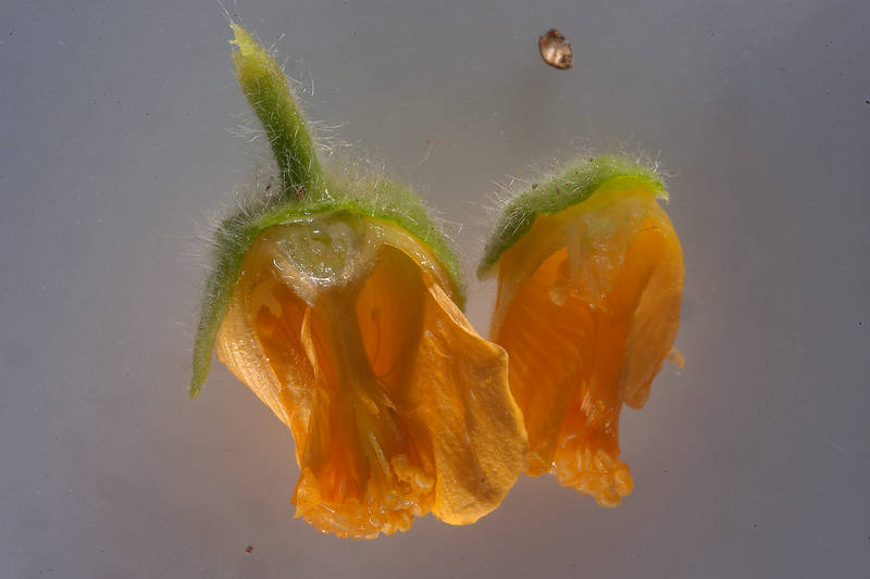 Dissected flower of velvetleaf (Abutilon pannosum var. figarianum) taken from oasis in front of Film City in Ras Abrouq peninsula in west central coastal area, north from Zekreet. Qatar, November 14, 2014