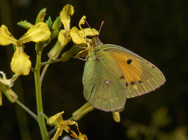 Clouded Yellow butterfly (Colias croceus) sitting on flowers of radish (Raphanus sativus, local names ruweid, fijil) on Green Circles (center-pivot irrigation) in Irkhaya (Irkaya) Farms. South-western Qatar, November 15, 2014