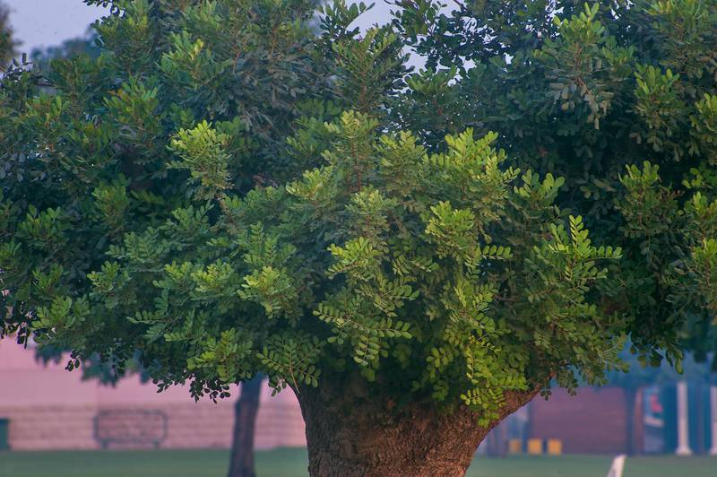 Carob tree (Ceratonia siliqua) in Aspire Park. Doha, Qatar, November 23, 2014