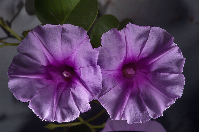 Blooming beach morning glory (railroad vine, Ipomoea pes-caprae) on a concrete fence on Al Istiqlal Street in West Bay. Doha, Qatar, November 27, 2014